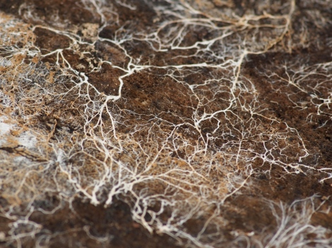 mycelium in a photo by Kirill Ignatyev
