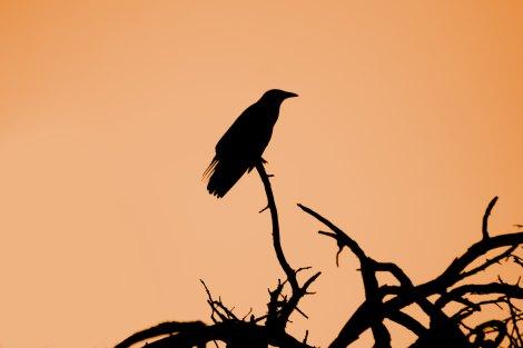crow silhouette against orange sky