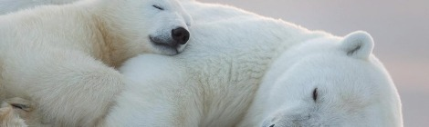 Sleeping polarbears