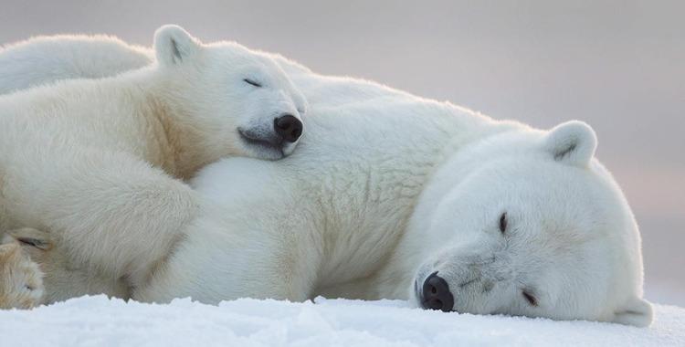 Sleeping polarbears